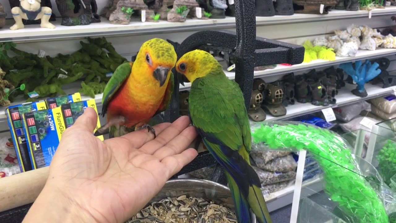 Quaker Parrots for sale in Melbourne   Your NEW Best Friend