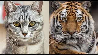 How Your Cat Is Basically a Tiny Lion   Wild Cats VS House Cats