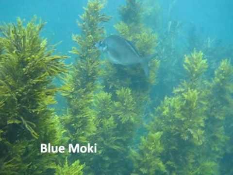 NZ Marine Fish and Underwater Scenery.wmv - YouTube