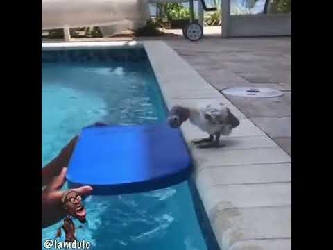 Aquaphobic bird doubts flotation device