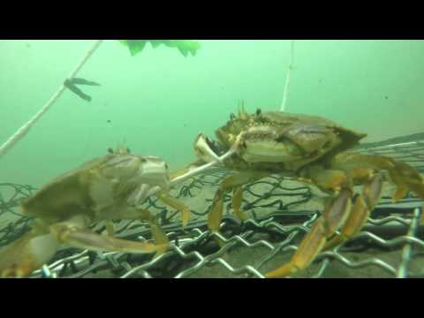 Tillamook Bay Crabbing