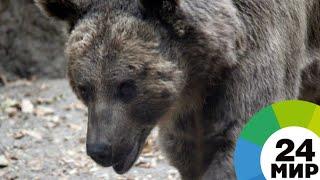 Охотившаяся за фастфудом семья медведей пустилась наутек при виде полиции - МИР 24