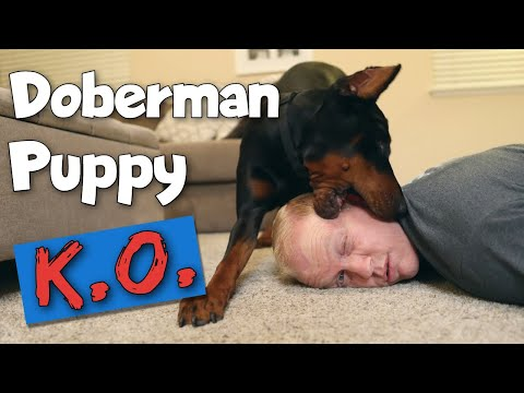 The 3 Major FirstYear Struggles of Doberman Ownership