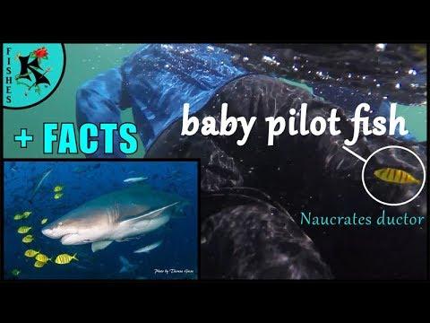 An Ambitious Pilotfish - Koaw Quickie