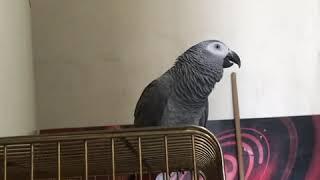Jako papağan küfürlü konuşuyor