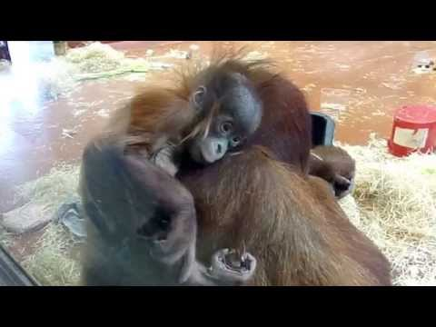 Beautiful Baby Sumatran Orangutan (Budapest Zoo)