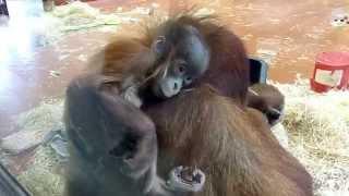 Beautiful Baby Sumatran Orangutan (Budapest Zoo)