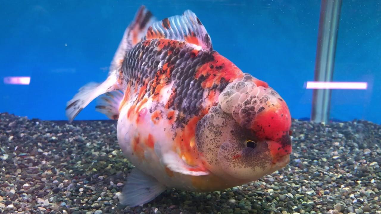 佐野 金魚