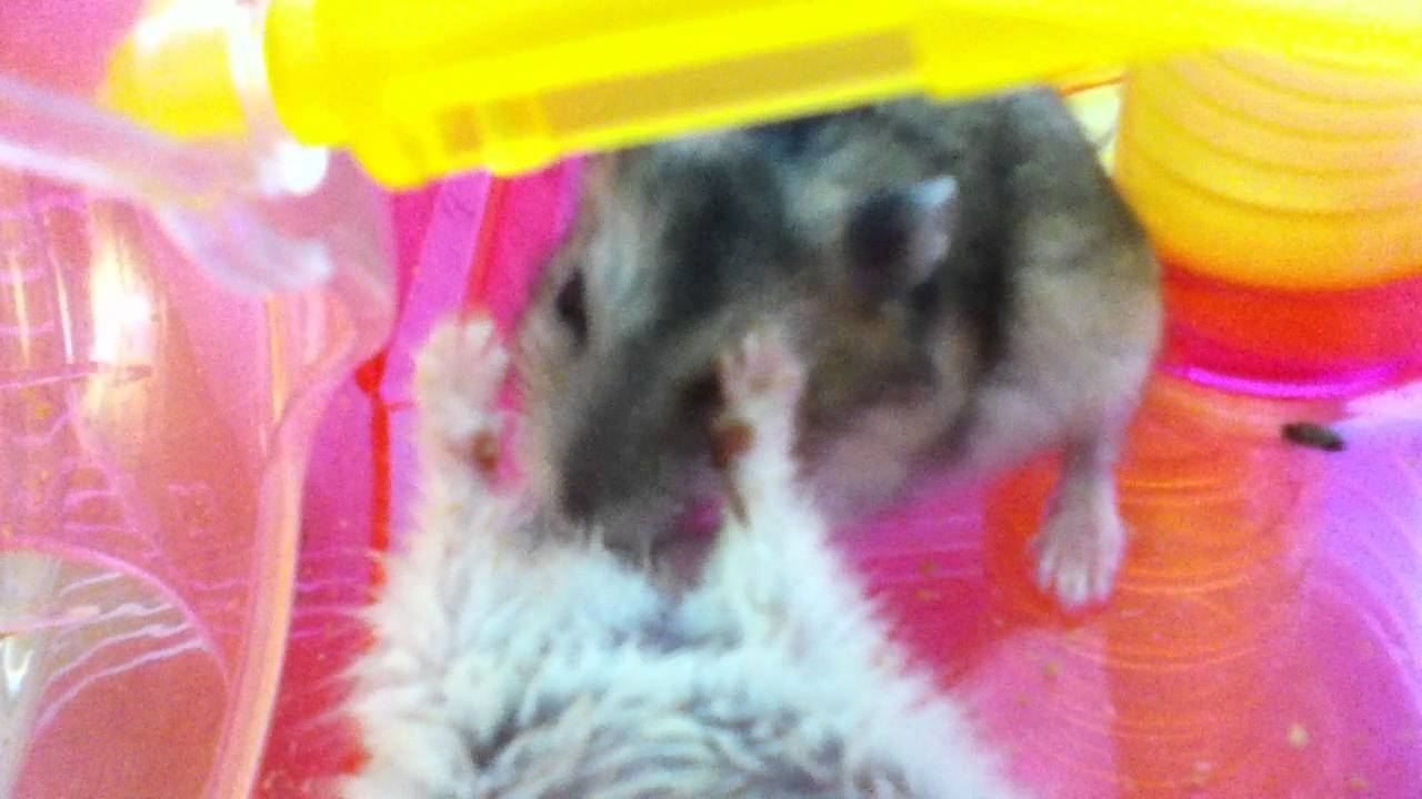 Cannibalization of a hamster ・ハムスターの共食い☆死体 Dead person , YouTube