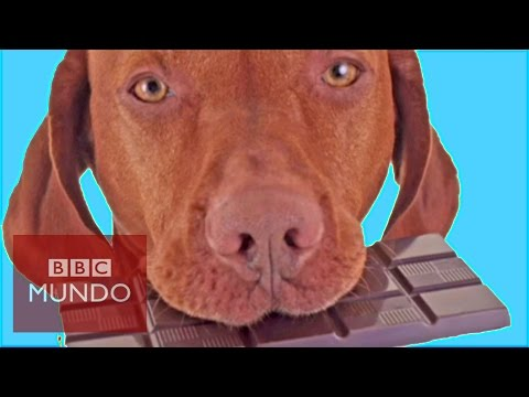 La razón científica por la que NO le debes dar chocolate a tu perro