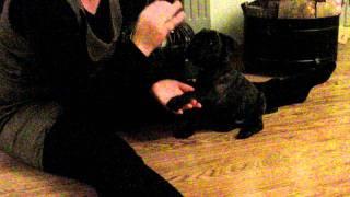Staffordshire Bull Terrier På 8 Uker Som Kan Sitt Og Gi Labb:-)