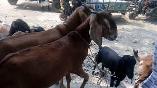 Goats। Cute Baby goats Compilation। Top 10 goats funny videos