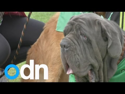 Dogs take their owners for a 5k run for charity in Colombia