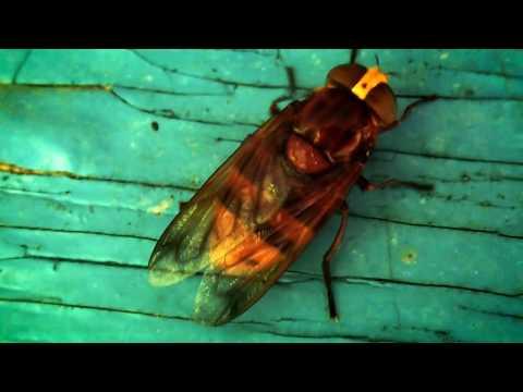 Овод муха. Описание, питание, размножение, места обитания.