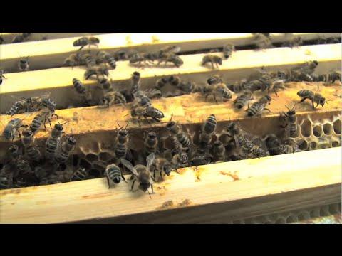 Georgia Tech Researchers Study Urban Honeybee Populations
