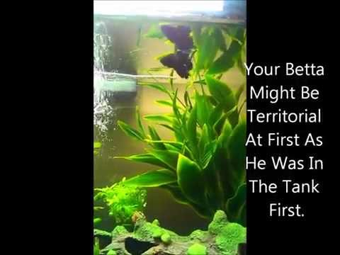 Can Bettas Co-Exist With Platies? How To Acclimate Fish?