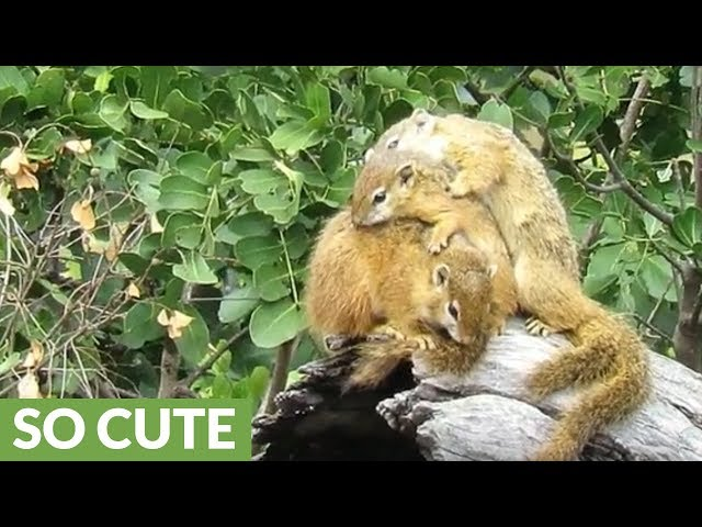Trio of squirrels hold onto each other to keep warm