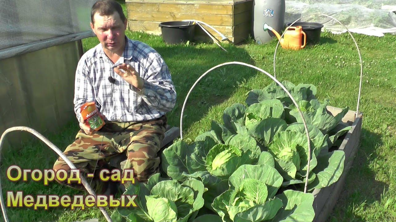 Как надежно и безопасно защитить капусту от вредителей
