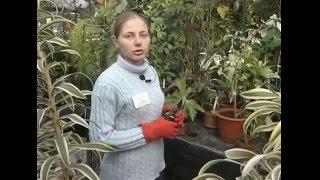 видео Обрезка растений