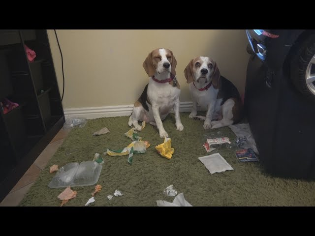 Who Did This Mess! – Funny Charlie the Dog and Cute Beagle Lilly