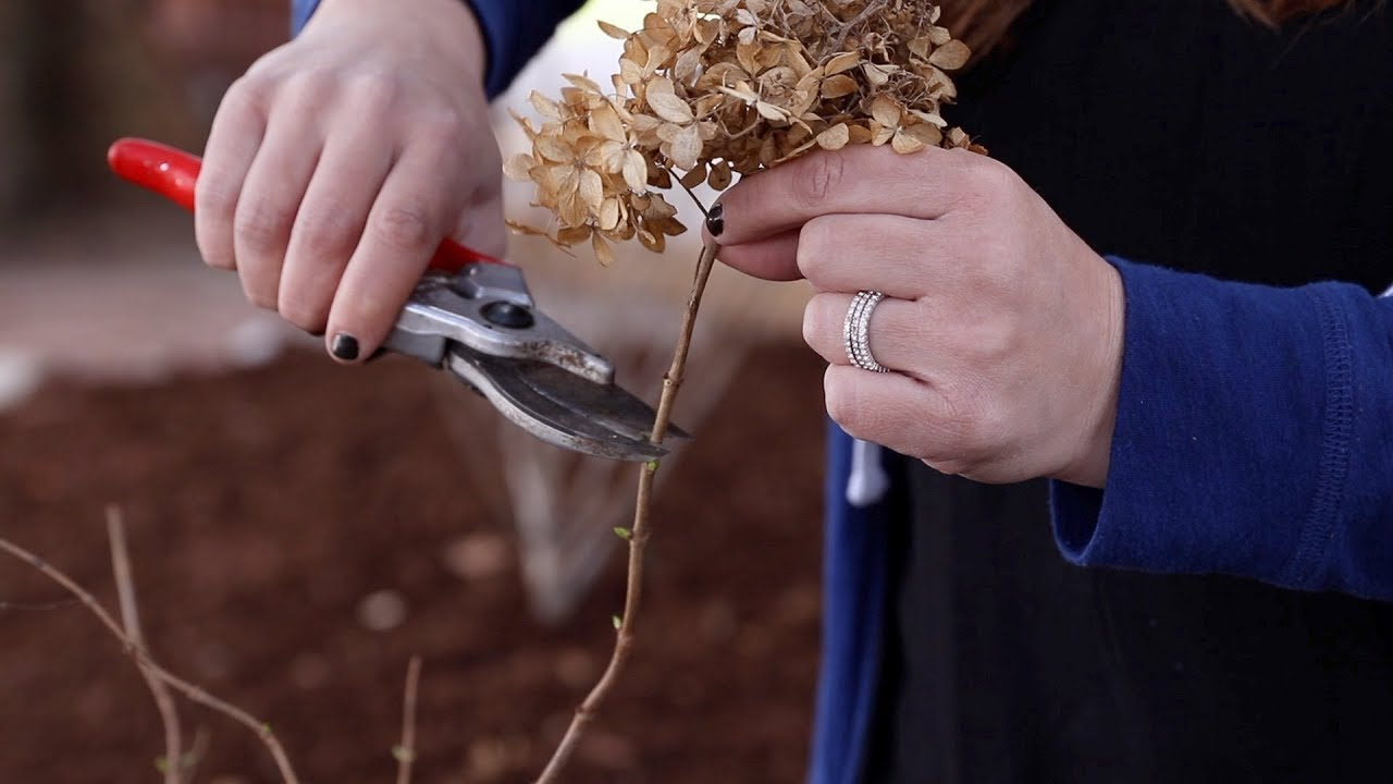 how-to-trim-a-panicle-hydrangea-garden-answer