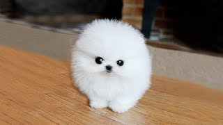 POMERANIAN THE CUTEST DOGS