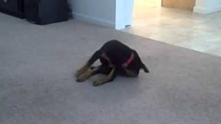 Rottweiler Puppy Trying To Bite His Docked Tail