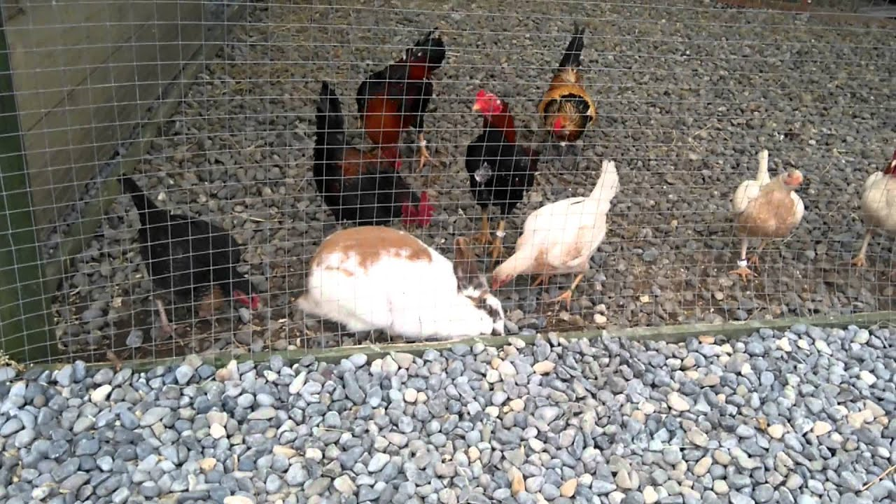 Rabbits and chickens youtube for Can ducks and chickens share a coop