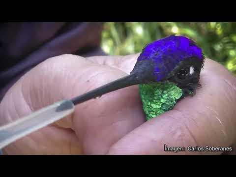 La UNAM rescata colibríes en la Ciudad de Mexico- UNAM Global
