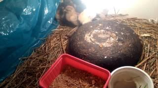Kurczaki Brahmy olbrzymiej i inkubator full automat