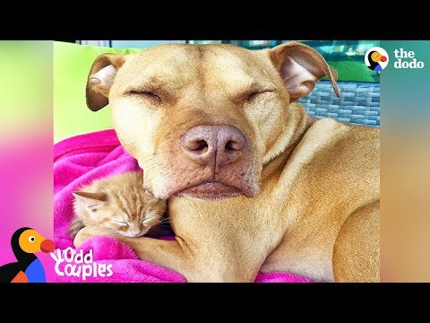 Pit Bull Dog Is The Best Mom To Kitten | The Dodo Odd Couples