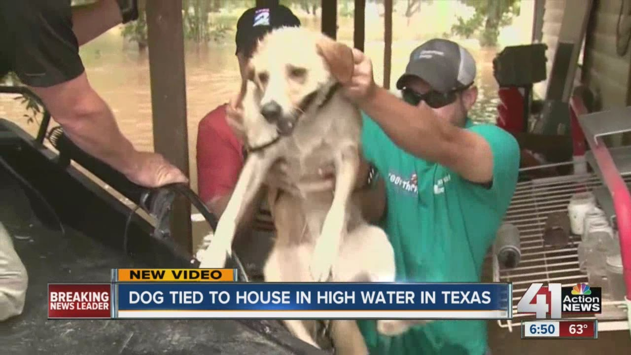 Dog Tied To House In High Water Rescued From Texas Flooding YouTube - Some people tied their dogs up and left them to die during the flood