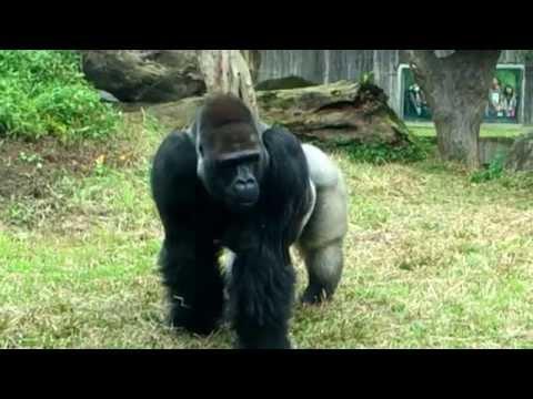 銀背大猩猩 Gorilla