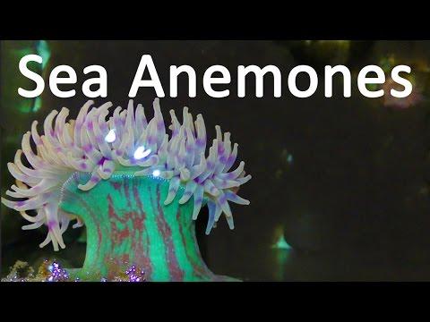 SEA ANEMONES!   10 Insane Facts about Sea Anemones
