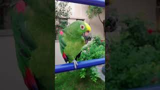 This huge green parrot loves to eat especially hot peppers