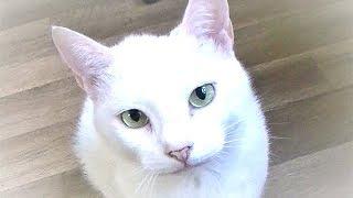 動物病院の看板猫 なんとびっくり!診察を受けに来た猫を威嚇する!w