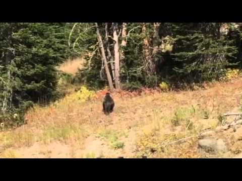 Grizzly in Yellowstone- 2015