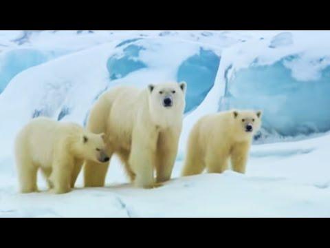 Polar bear sledging   Wildlife Specials   BBC