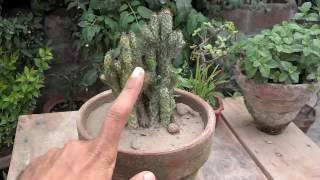 How To Grow Indoor Cactus Plant   Fertilizing Cactus   How To Care For Succulents Urdu/Hindi)