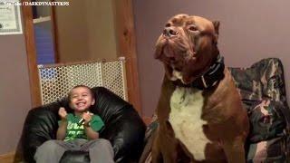 Un Pitbull Gigante llamado Hulk de 175 lb y cachorros de $ 500 000 00