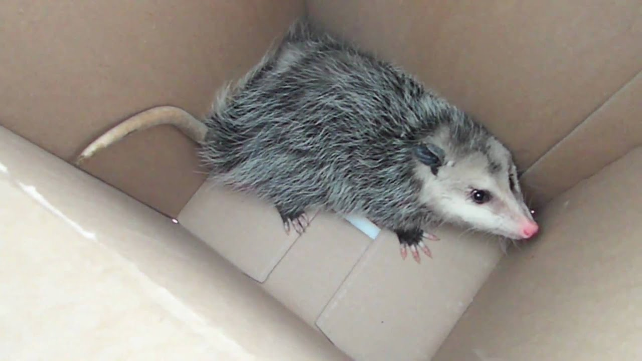 how to catch a CUTE POSSUM! (with NO trap)