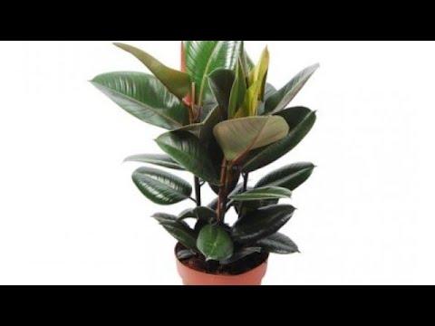 طريقة تكاثر نبات عصا موسى Doovi
