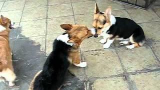 Miko's Dances - Pembroke Welsh Corgi