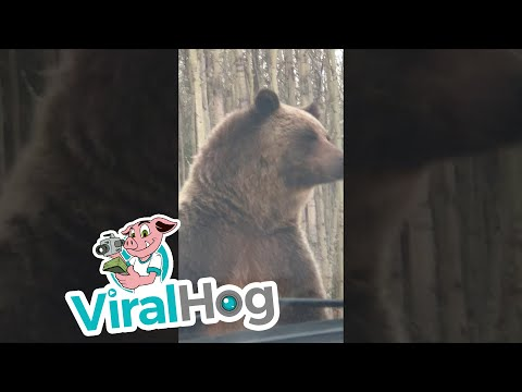 Grizzly Mom Stands in Front of Truck || ViralHog