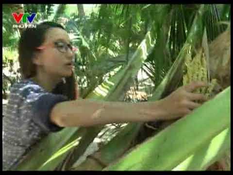 Dừa Xiêm Ninh Hoà - Điểm Hẹn Xứ Trầm Hương