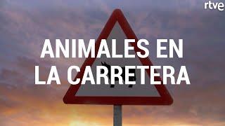 ANIMALES EN LA CARRETERA | Seguridad Vital
