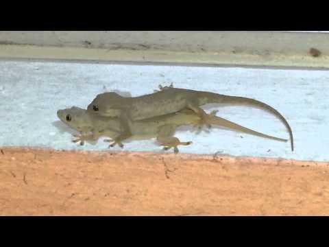 Lizard mating