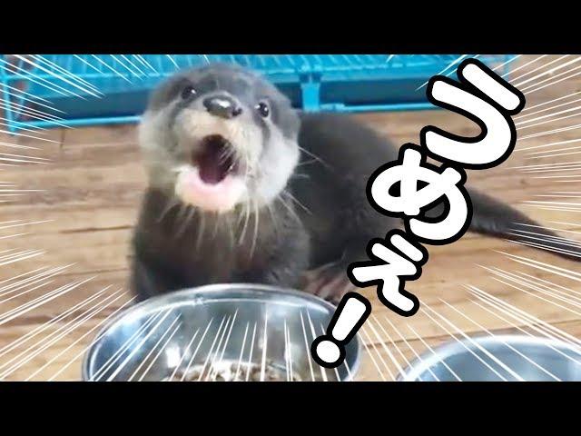 【カワウソ赤ちゃん】ものすごくおいしそうに食べるカワウソ【しゃもじ君】The otter which eats very with great relish
