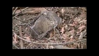 How To Catch a Groundhog Best Groundhog Trap/ Rid/Remove a Groundhog/Woodchuck From Your Property