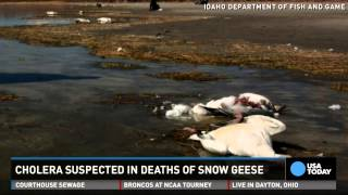 Thousands of geese fall dead from the sky in Idaho